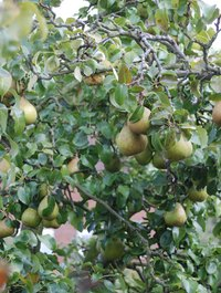 Pear trees require at least 1 inch of water each week.