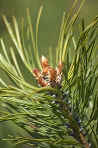 Evergreen conifers provide year-round greenery and tolerate shady conditions.