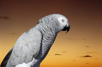 The dander produced from a parrot might trigger allergies in humans.