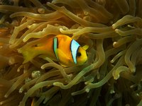 A clownfish with Black Ich will often scratch its body against objects in its aquarium.