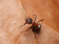 Fire ant bites cause itching, redness, swelling, blisters and other symptoms.