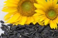 The largest sunflower plant ever recorded had 837 heads.