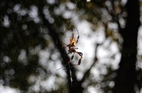 The banana spider is common in east Tennessee.