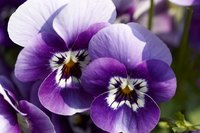 Most pansies have two or more colors on each petal.