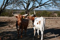 Texas Longhorn cattle thrive in an expansive habitat.
