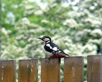 Annoying birds, such as the woodpecker, can wreak havoc on your home and yard.