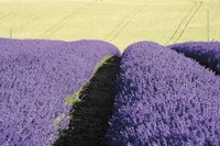 Lavender thrives in France's continental climate.