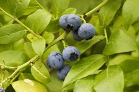 Edible wild blueberries are a treat, but you must know what to look for.