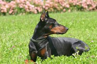 A Doberman is one breed with ears that can be surgically cropped to stand erect.