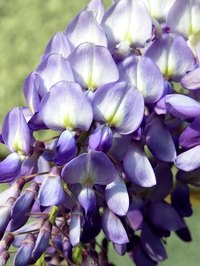 Trim wisteria regularly to keep it from consuming a yard and becoming a nuisance.
