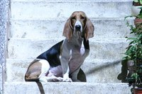 Allergies may contribute to basset hound ear issues.