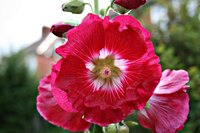 A hollyhock flower in full bloom.