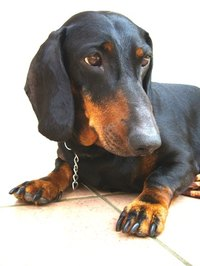 Dachshunds are prone to disc disease.