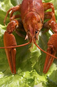 Crayfish eat just about anything.