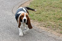 Basset hounds often suffer from ear infections because of their long, floppy ears.
