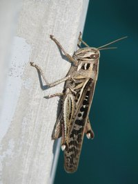 Crickets are nocturnal insects with long, slender bodies.