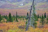 Some areas of the alpine tundra have short periods without snow or frost.
