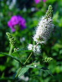The spearmint plant may offer relief for acne sufferers.