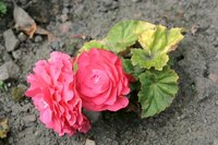 Begonias are toxic to dogs and cats.