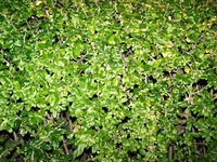 Wax-leaf privet provides a dense screen.