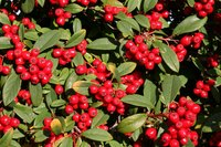Some shrubs native to northern Minnesota produce red berries.