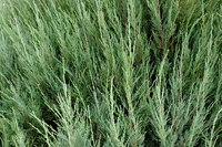 Thuja green giant trees grow quickly with the proper care.