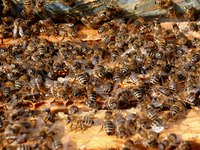 A colony of bees will be in close proximity of the queen bee.