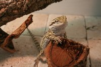 Good bearded dragon enclosures are often the simplest to set up.