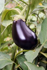 You can grow eggplant indoors.