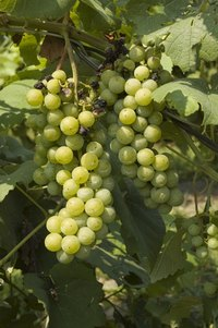 Give grapes sun, moisture and good drainage for successful growing.