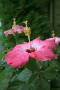 A Chinese hibiscus flower