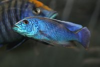 Cichlids are prone to swim bladder disease.
