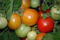 A little knowledge helps you grow great tomatoes.