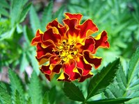 Marigolds grow well from seed, started indoors or out.