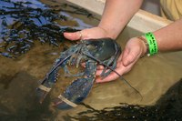 Blue lobsters live in freshwater.