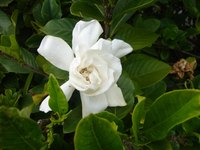 Plant your gardenia bush in a serene garden where you can enjoy its fragrance.