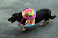 Protect a dog from sunburn with a hat.