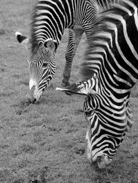 Caring for a zebra is similar to caring for a horse.