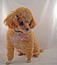 The miniature poodle is a very friendly and affectionate dog.