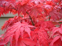 Janpanese Maple trees provide bright color to the garden.