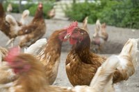 Chickens and other birds and poultry are susceptible to bird flu.