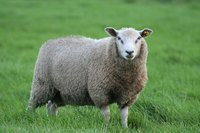 Wool is made from the fur of sheep.