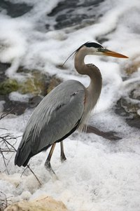 In West Virginia, you can spot the blue heron near water.