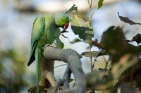 African ringneck parakeets eat many different kinds of fruit.