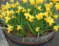 Daffodils can be forced to bloom out of season.
