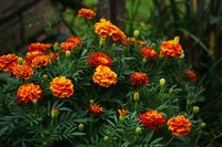 Marigolds are a common garden flower.