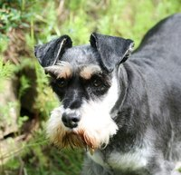 Mini schnauzers can fall prey to several different health concerns.