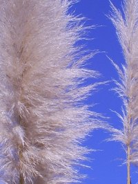 The plumes of the pampas grass look dramatic in your landscape.
