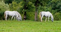 A visible fence keeps pastured horses safe.