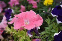 Save seeds from your favorite petunias.